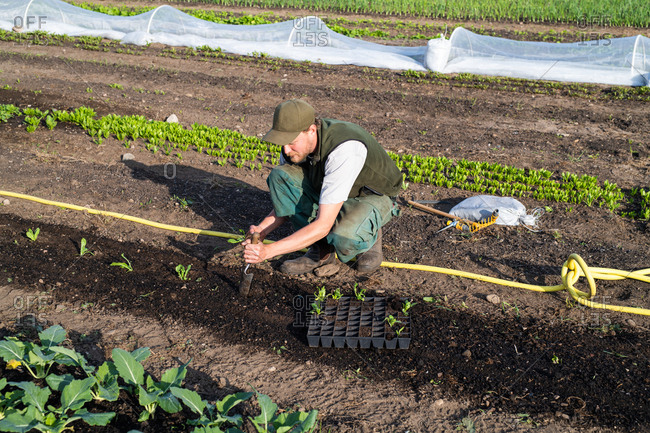 Farmer transplanting young plants in a garden