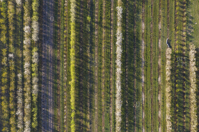Rows of cherry trees in an orchard in spring- aerial view