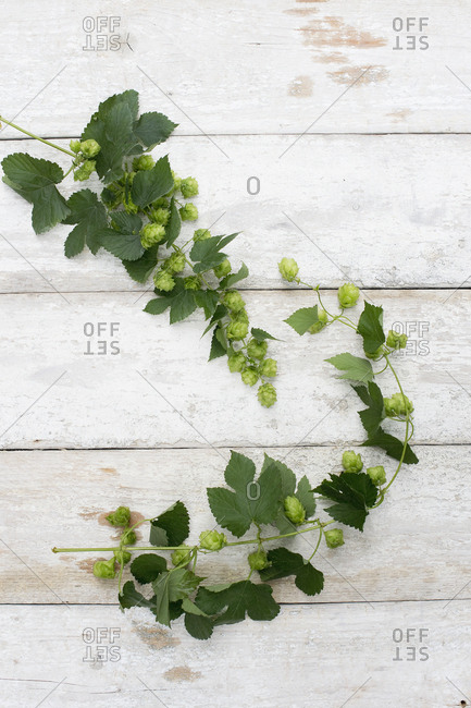 Hop tendrils on white wood