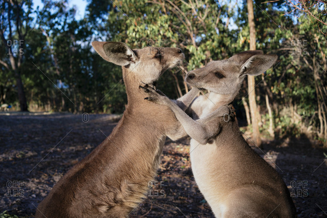 Australia- Queensland- red kangaroos play fighting