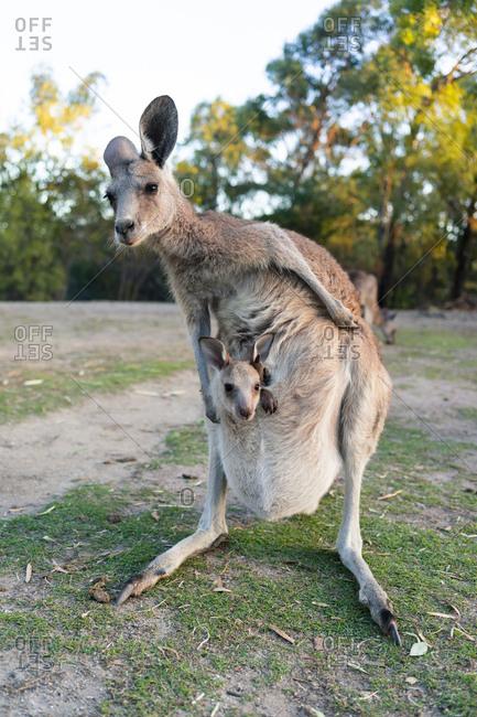 Australia- Queensland- mum kangaroo carrying joey in her pouch