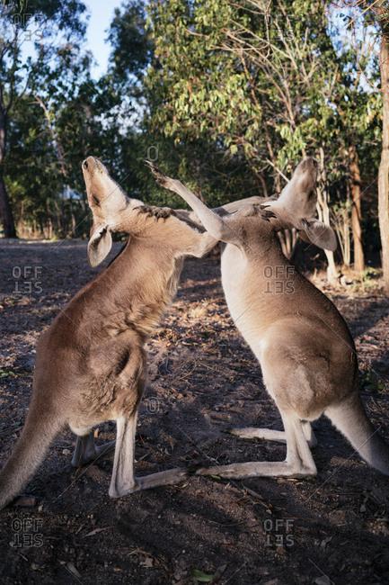 Australia- Queensland- red kangaroos play fighting