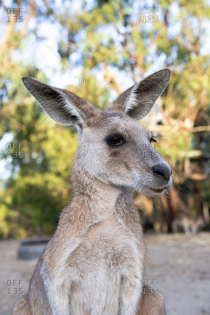 Australia- Queensland- adult female kangaroo