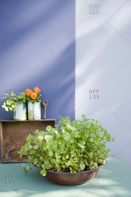 Bowl with planted purslane- ivy and pansies on a balcony