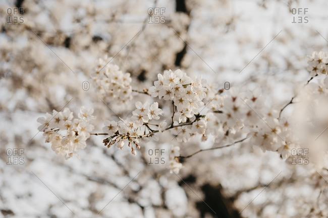 Japan- Tokio- Chidorigafuchi Park- cherry tree blossom