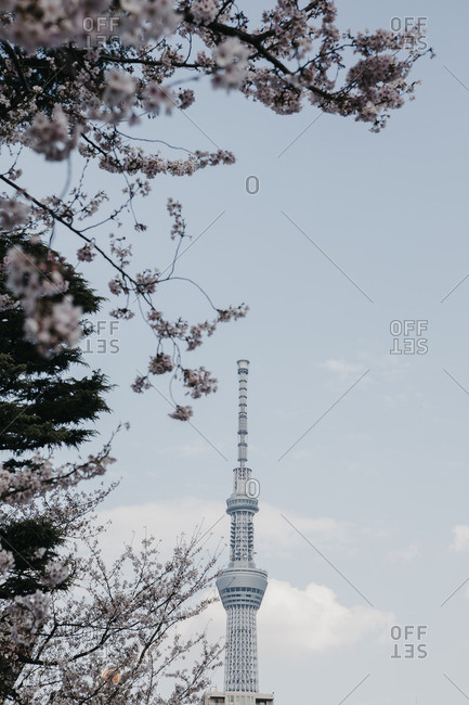 June 6, 2019: Japan- Tokyo- cherry blossom and Tokyo Skytree seen from Asakusa