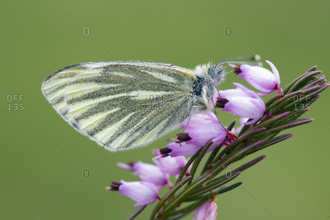 Green-veined White- Pieris napi- on blossom