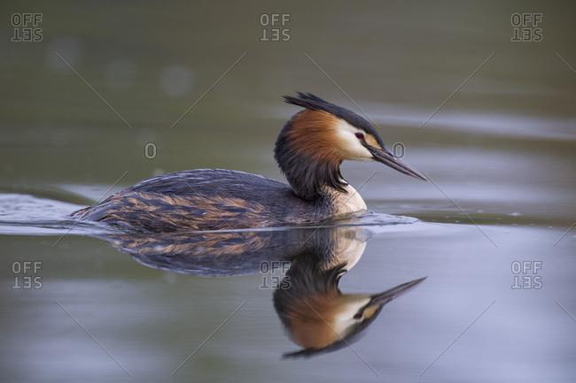 Scotland- swimming Great crested grebe