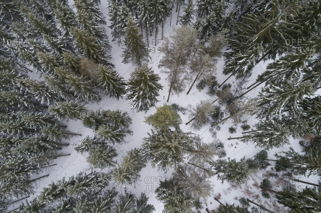 Coniferous forest in winter seen from above