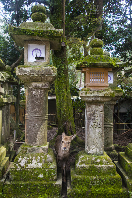 March 29, 2013: Japan- Kansai- Nara- Deer and toro stone lanterns in the Unesco world heritage sight