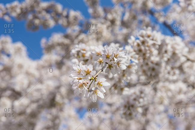 Japan- Kyoto- Maruyama Park- white cherry blossoms