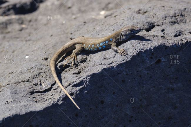 Spain- Canary Islands- Lanzarote- Atlantic lizard- Gallotia atlantica