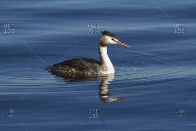 Germany- Bavaria- Chiemsee- great crested grebe on water