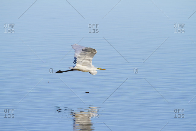 Germany- Bavaria- Chiemsee- great white egret in flight