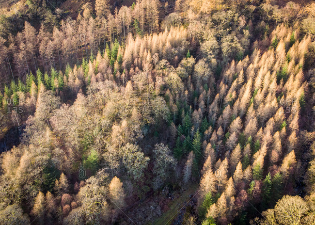 Aerial view of trees during winter in Derwent, the Lake District, Cumbria, United Kingdom.