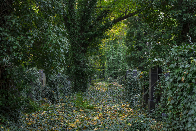 Leafy, overgrown paths in the New Jewish Cemetery in Zizkov, Prague, the Czech Republic.