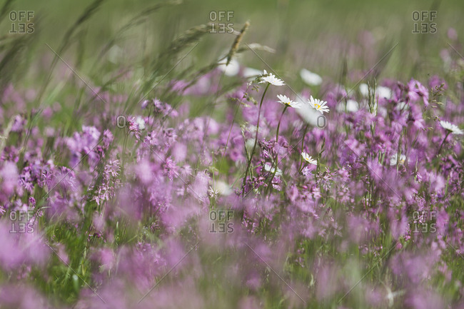 Ragged Robins and White Marguerites on a wet meadow