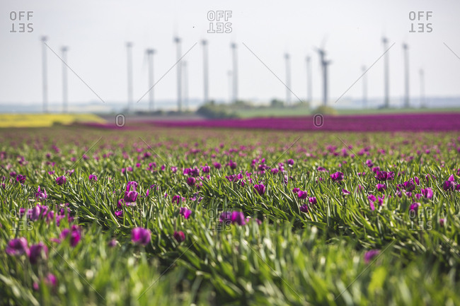 Germany- pink tulip field - Offset