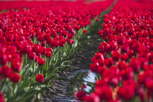 Germany- red tulip field