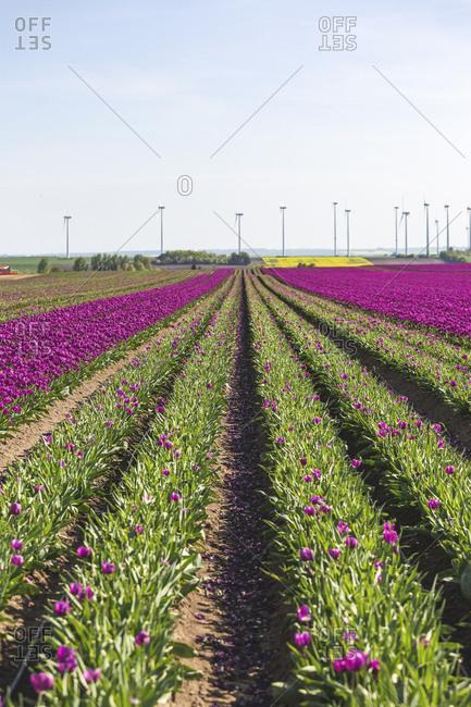 Germany- tulip field in spring