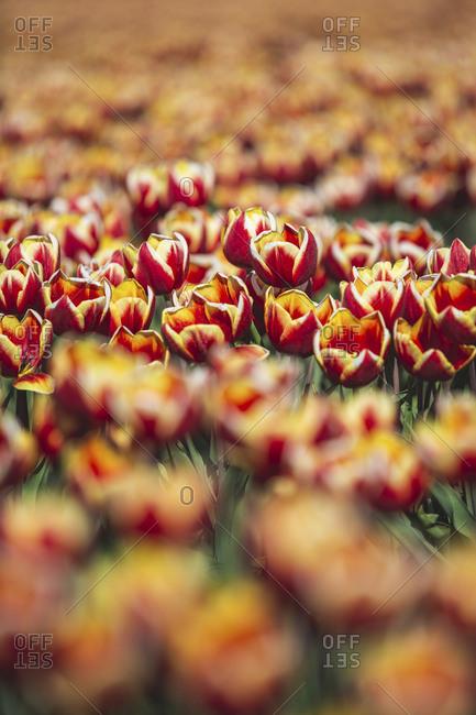 Germany- tulip field