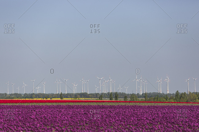 Germany- tulip fields with wind wheel in the background