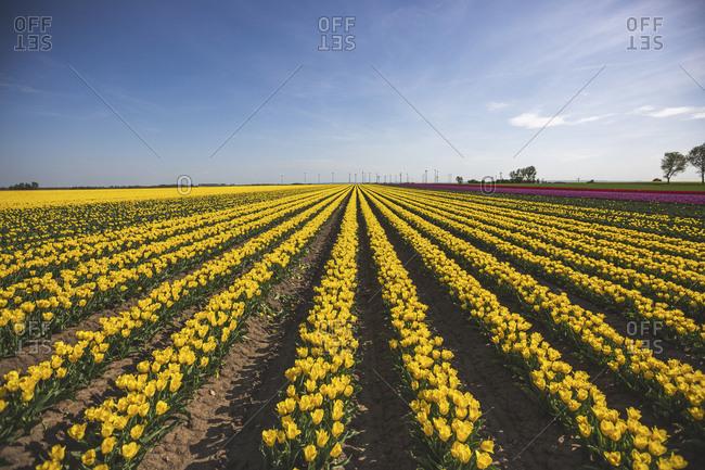 Germany- yellow tulip field