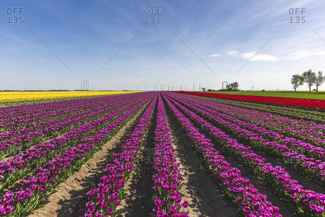 Germany- tulip fields