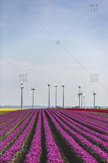 Germany- pink tulip field