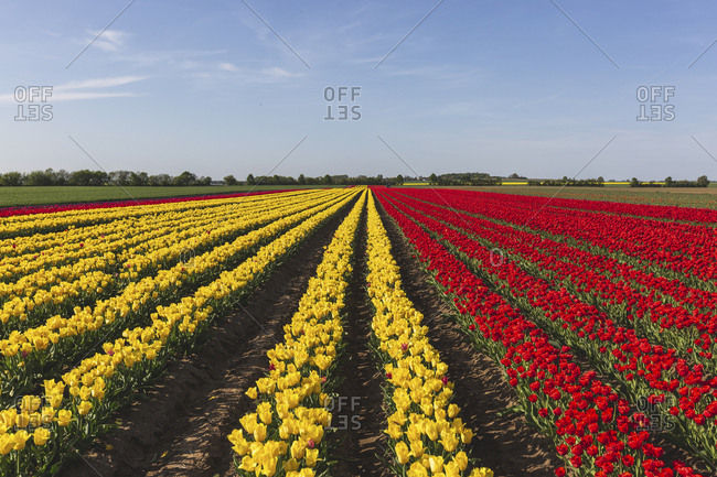 Germany- red and yellow tulip fields