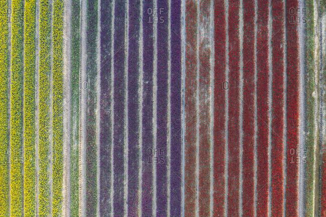 Germany- Saxony-Anhalt- aerial view of tulip fields