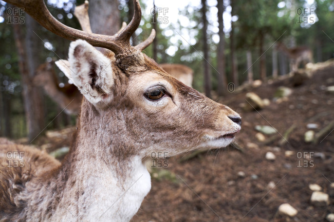 France- Pyrenees- portrait of young deer with in the woods