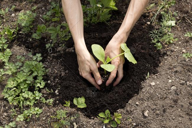 Organic garden- gardener planting a pumpkin plant