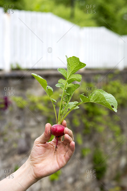 Gardener holding organic red radish