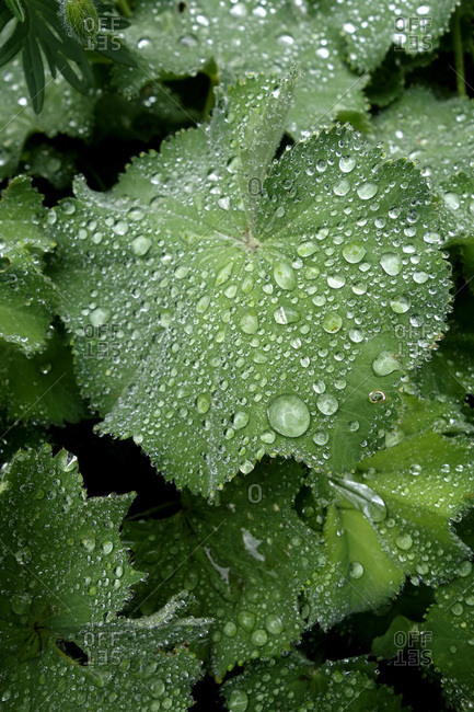 Raindrops on leaves of lady's mantle