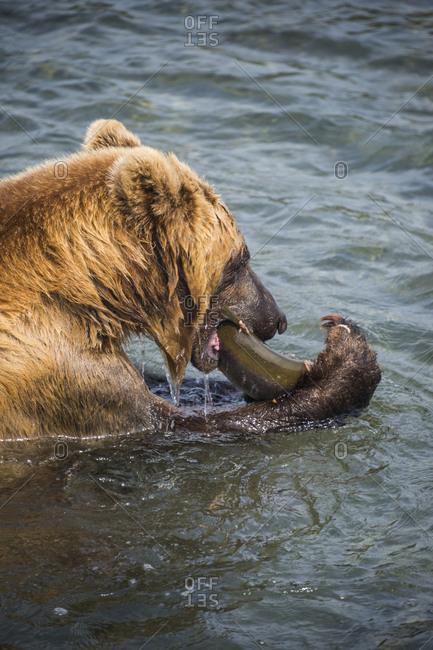 Russia- Kamchatka- Kurile lake- Kamchatka brown bear- Ursus arctos beringianus- eating salmon