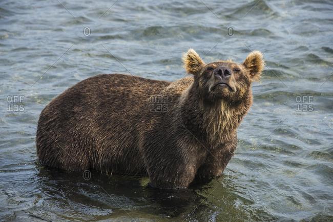Russia- Kamchatka- Kurile lake- Kamchatka brown bears (Ursus arctos beringianus
