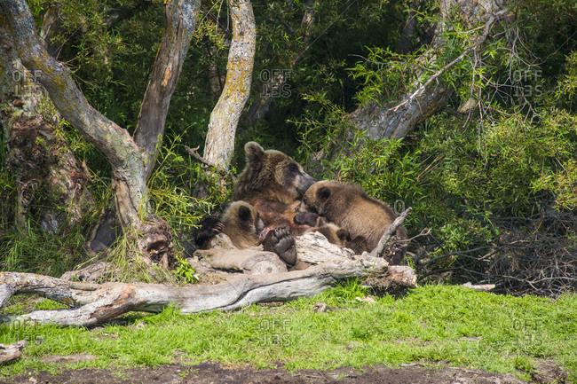 Russia- Kamchatka- Kurile lake- Kamchatka brown bears (Ursus arctos beringianus- mother animal with young animals