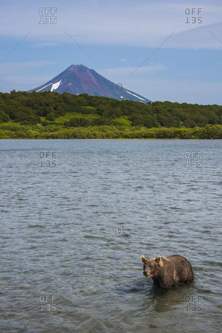 Russia- Kamchatka- Kurile lake- Kamchatka brown bear- Ursus arctos beringianus- Ilyinsky volcano in the background