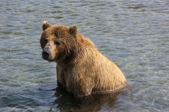 Russia- Kamchatka- Kurile lake- Kamchatka brown bears (Ursus arctos beringianus)