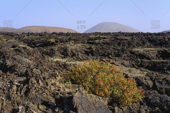 Spain- Canary Islands- Lanzarote- Los Volcanoes Nature Park- Lava field- Canary Islands sorrel