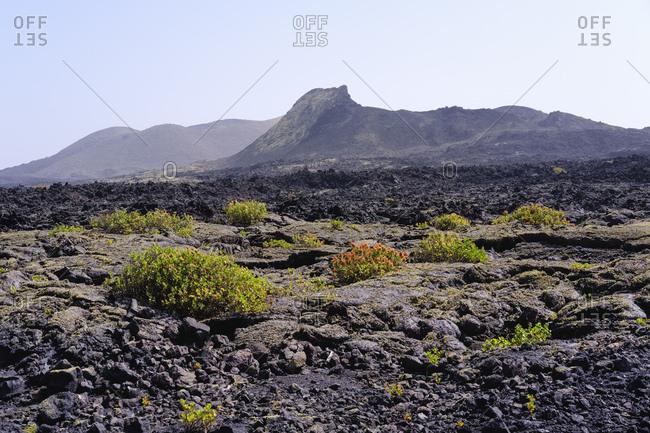Spain- Canary Islands- Lanzarote- Los Volcanoes Nature Park- Caldera Santa Catalina- Canary Islands sorrel