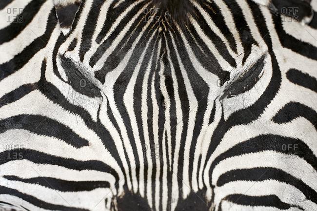 Africa- Limpopo- Kruger National Park- Zebra carpet