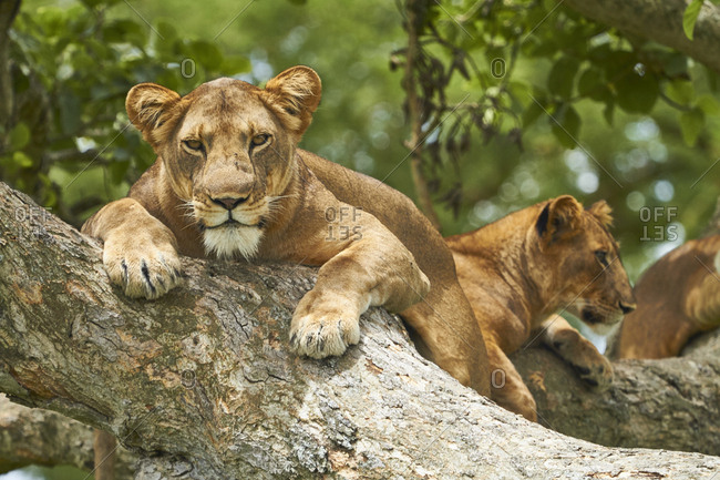 Africa- Uganda- Fort Portal- Elizabeth National Park- lions lying on a tree