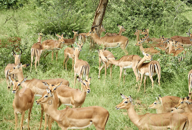 South Africa- Mpumalanga- Kruger National Park- Group of impalas in the bush