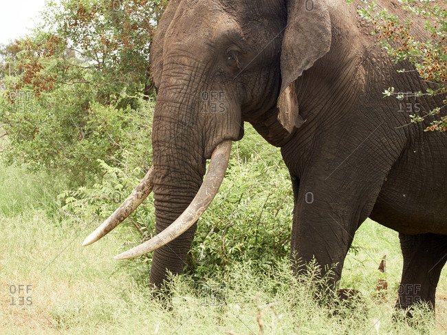 Africa- Botswana- Chobe National Park- Elephant in the savannah