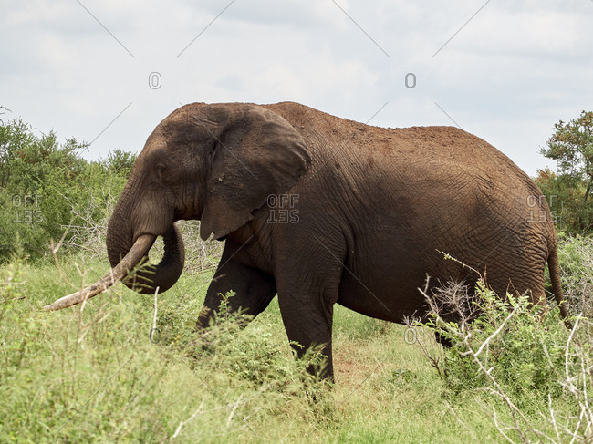 Africa- Botswana- Chobe National Park- Elephant walking in the savannah
