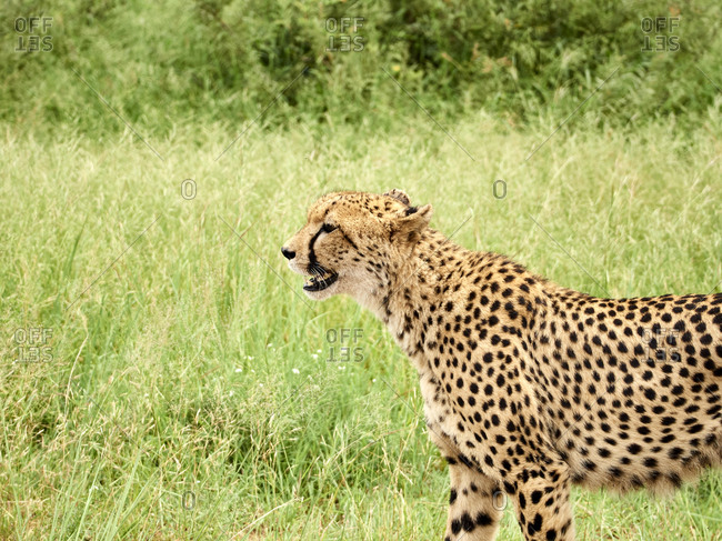 South Africa- Mpumalanga- Kruger National Park- Profile of a female cheetah in the savannah