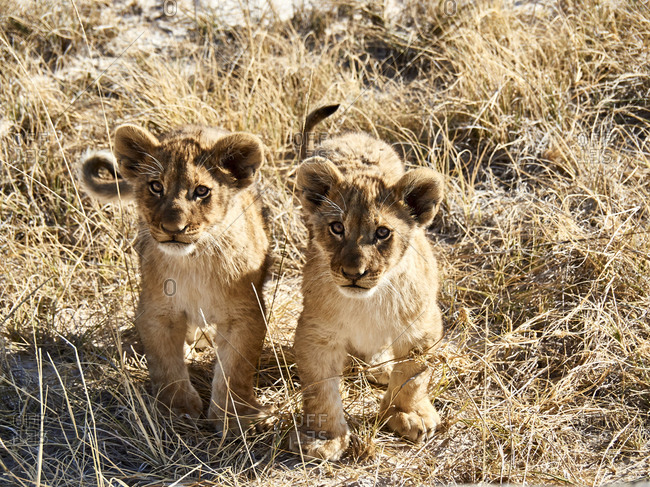 Africa- Namibia- Halali- Etosha National Park- portrait of two lion cubs