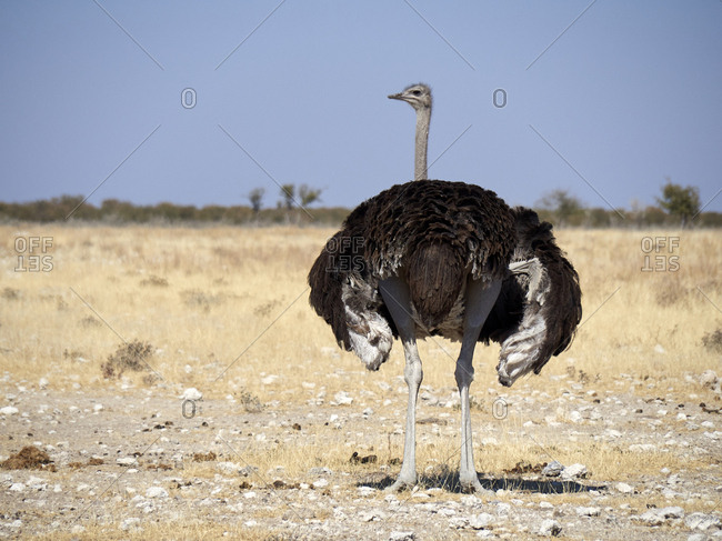 Africa- Namibia- Okaukuejo- Etosha National Park- ostrich on a dirt road